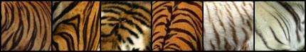 Bengal tiger and Sumatran tiger show striation and colour differences.  Patterns on the head have the shorter stripes such as the picture centre left. The pattern to the centre right is from the animal back.  Finally the last two paler tiger patterns on the far right, are of white tiger skins.